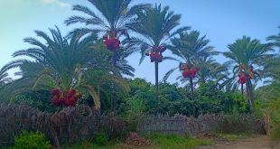 ثروات دمياط المهدرة … نخيل البلح ينهار