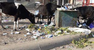 بالصور البهائم تغزو شوارع دمياط والست المحافظة بيطرية