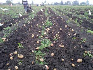 بدء موسم جمع محصول البطاطس من قري مدينة الزرقا